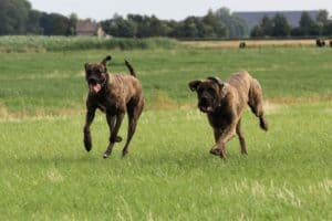 F2 outcross Mastiff Tijger en Queen