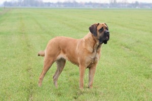 Mastiff Alex 3 jaar