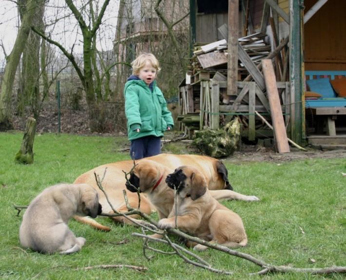 Mastiff pup linus