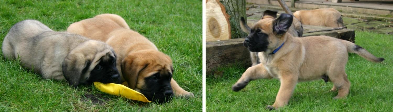 mastiff pup 7 weken