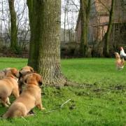 dog meets chicken