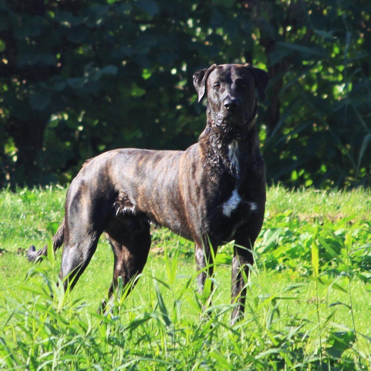 Freddy - Mastiff * Greyhound 1,5 jaar - Hillse Mastiffs