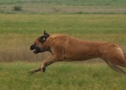 Alex in full speed - Hillse Mastiffs