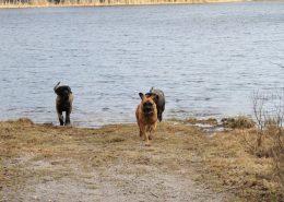 Alex en Savesco Mastiff pup