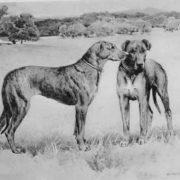 Great Dane - Mastiff x Greyhound