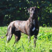 Freddy - outcross 50% Mastiff - 50% Racing Greyhound