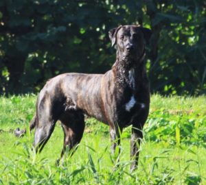 Freddy - outcross 50% Mastiff - 50% Racing Greyhound