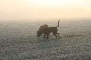 De Hillse Mastiffs