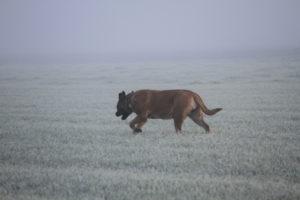 Alex 7 weken drachtig - De Hillse Mastiffs