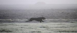 papa Freddy - outcross Engelse Mastiff - Hillse Mastiffs