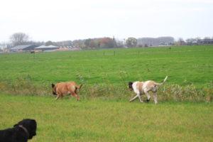 Alex 60 dagen drachtig - Hillse Mastiffs