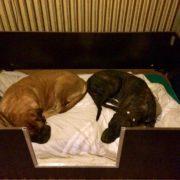 Lex en Freddy testen babykamer | Hillse Mastiffs