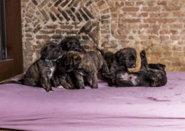 F2 Mastiff outcross 4 weeks - Hillse Mastiff's