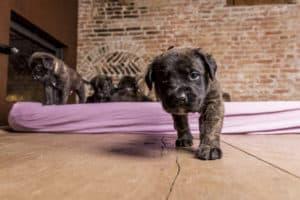 F2 Mastiff outcross 4 weeks - Hillse Mastiff's