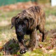 Tijger - F2 outcross - Mastiff - Hillse Mastiffs