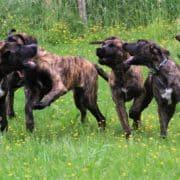 Hillse Mastiff - F 2 Outcross