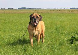 Juul blind door Glaucoom - Hillse Mastiffs