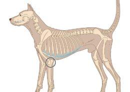 elleboogdysplasie - Mastiff - Hillse Mastiffs