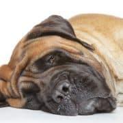 Epilepsie Mastiff - Hillse Mastiffs