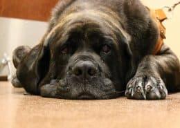 zieke Mastiff