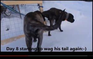 LPTO Mastiff kruisband gescheurd